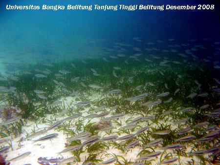 ikan Atherinomorus sp. yang bergerombol (schooling) tak jauh dari daerah lamun yang didominasi oleh Cymadocea di Pantai Tanjung Tinggi Belitung Provinsi Kepulauan Bangka Belitung