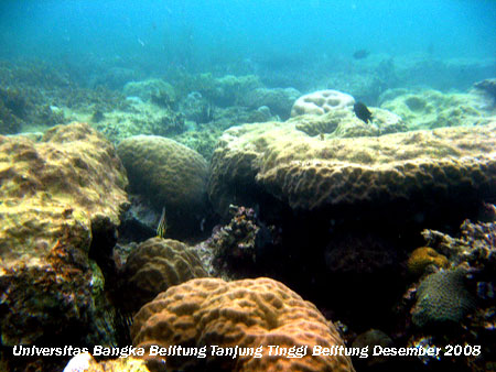 Terumbu Karang yang tertutup mikroalga dan makroalga di Pantai Tanjung Tinggi Belitung Provinsi Kepulauan Bangka Belitung