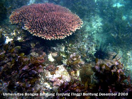 Terumbu karang yang terdapat di daerah Tanjung sebelah barat Pantai Tanjung Tinggi Belitung Provinsi Kepulauan Bangka Belitung